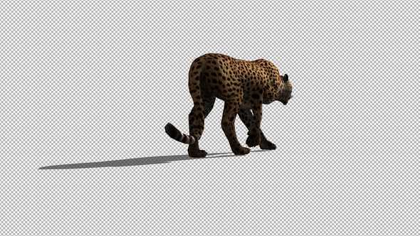 4K Cheetah Walk - Download Videohive 21653595