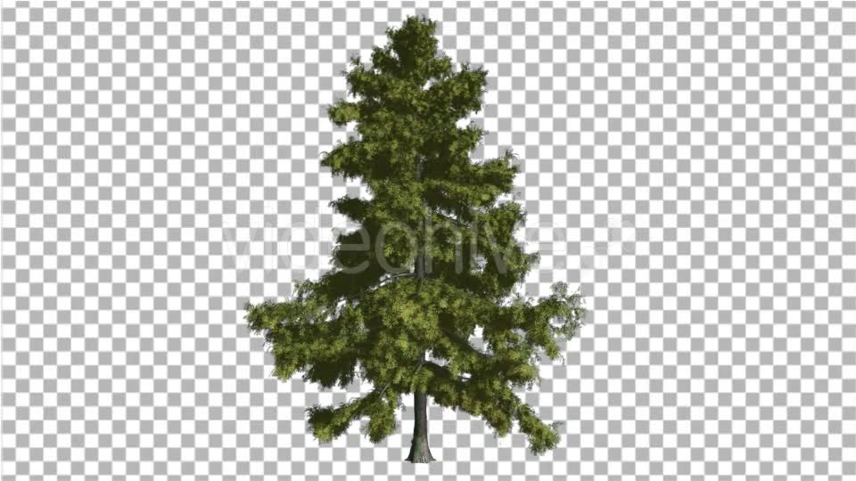 Alaska Cedar Thin Tree is Swaying at The Wind - Download Videohive 14810195