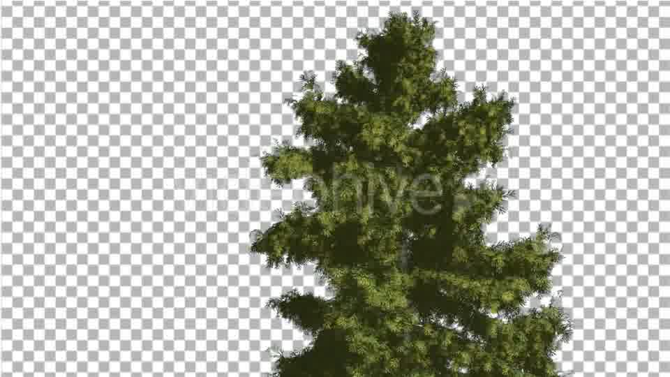 Alaska Cedar Tree is Swaying at The Wind - Download Videohive 14750634