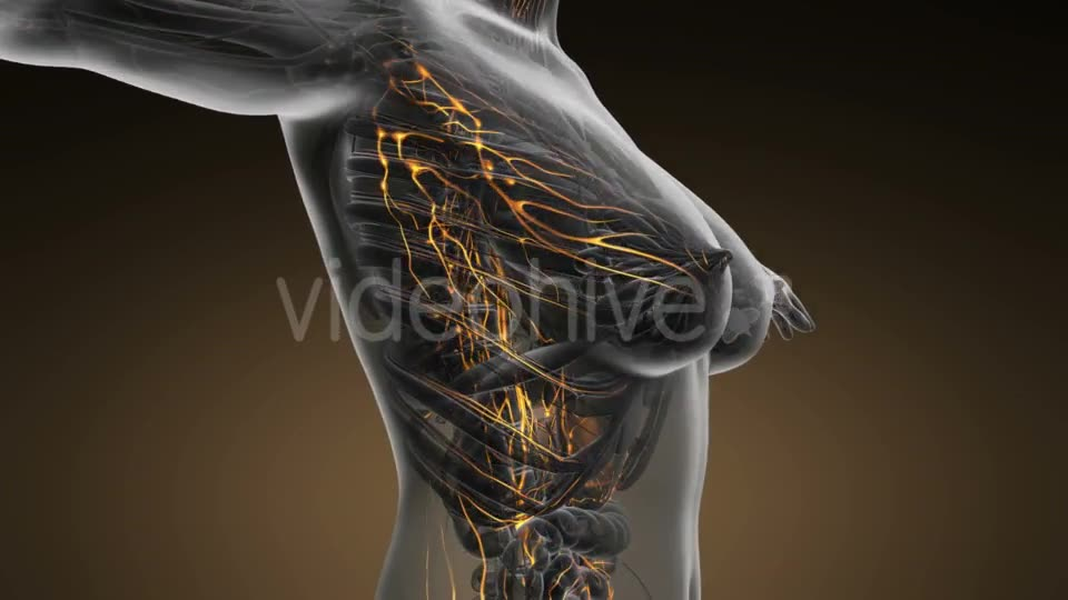 Anatomy of Woman Limphatic System - Download Videohive 20011095