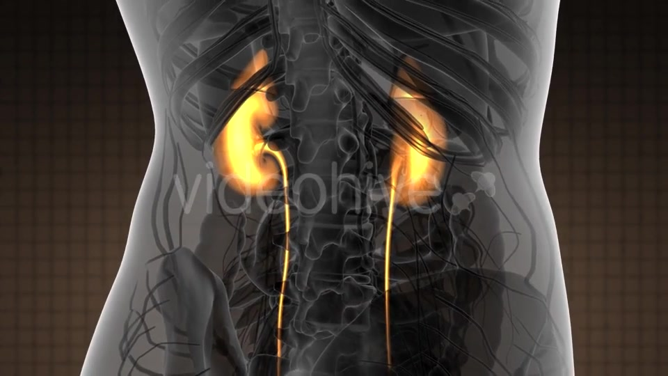 Anatomy Scan of Human Kidneys - Download Videohive 21097019