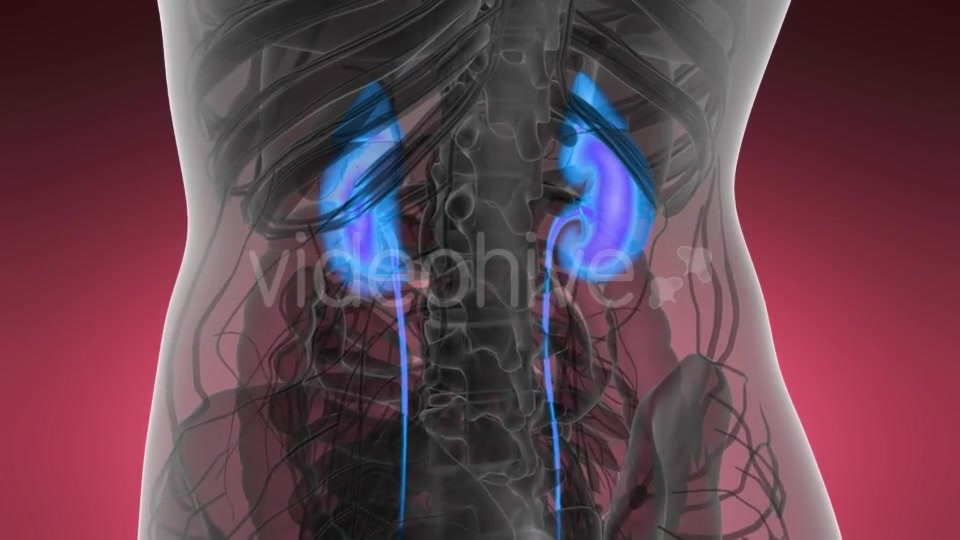 Anatomy Scan of Human Kidneys - Download Videohive 21440931