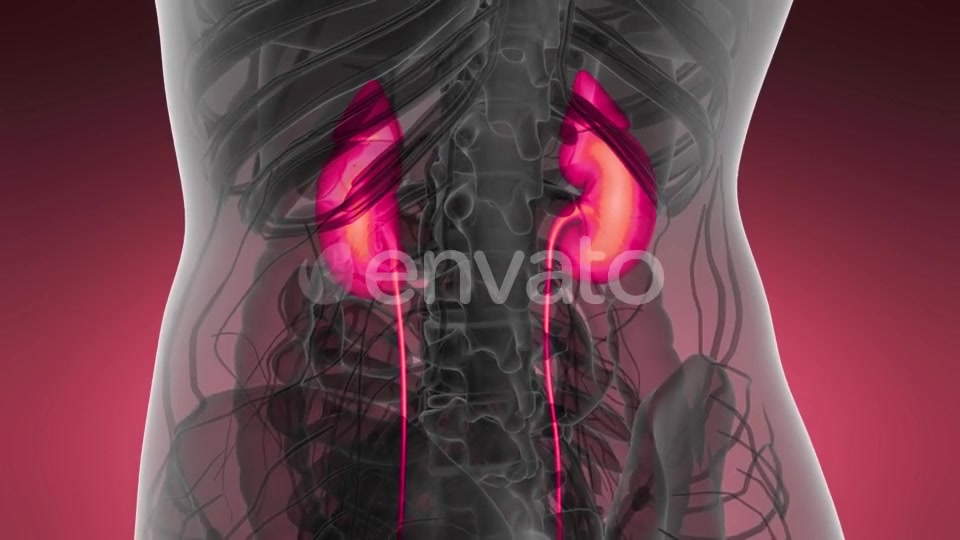 Anatomy Scan of Human Kidneys - Download Videohive 21633888