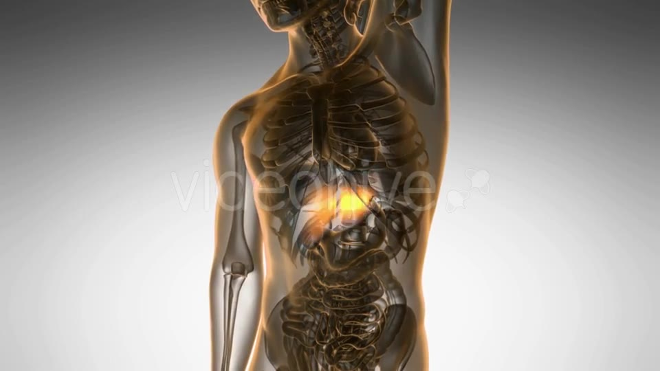 Anatomy Scan of Human Liver - Download Videohive 20290779
