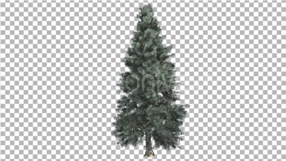 Blue Spruce Thin Tree in Winter or Summer - Download Videohive 14789873
