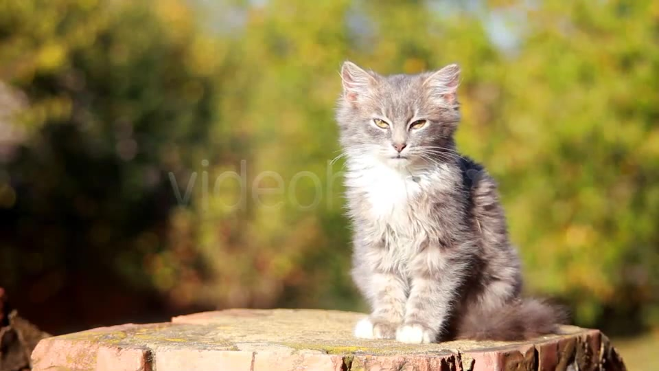 Cat on a Fence  - Download Videohive 3250632