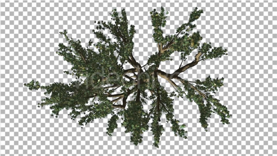 Cedar of Lebanon Tree Crown Top Down is Swaying - Download Videohive 14753552