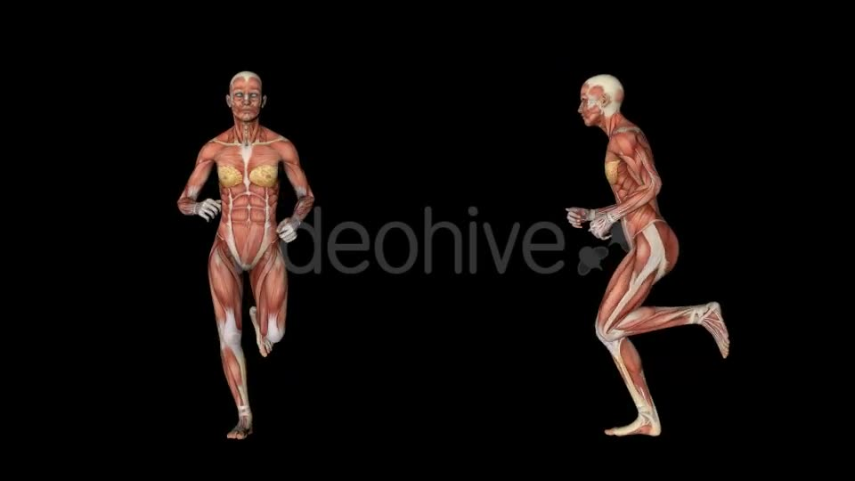 Female Muscular System Run Animation - Download Videohive 20339895