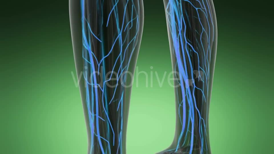Human Body with Glow Blood Vessels - Download Videohive 19989905