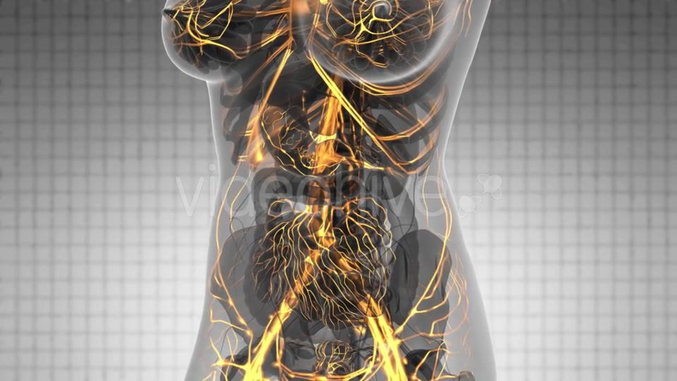 Human Body with Glow Blood Vessels - Download Videohive 21166517