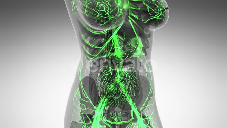Human Body with Glow Blood Vessels - Download Videohive 21591358
