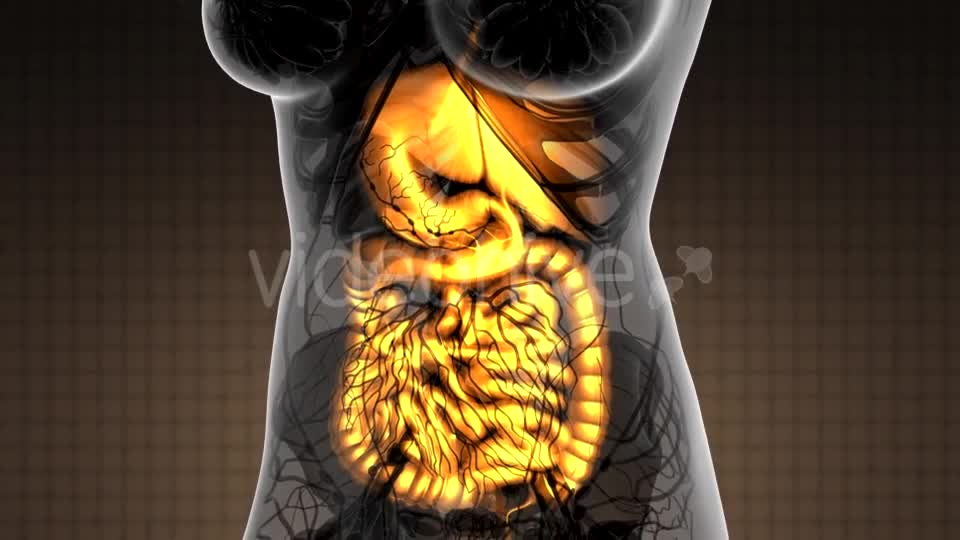 Human Body with Visible Digestive System - Download Videohive 21264156