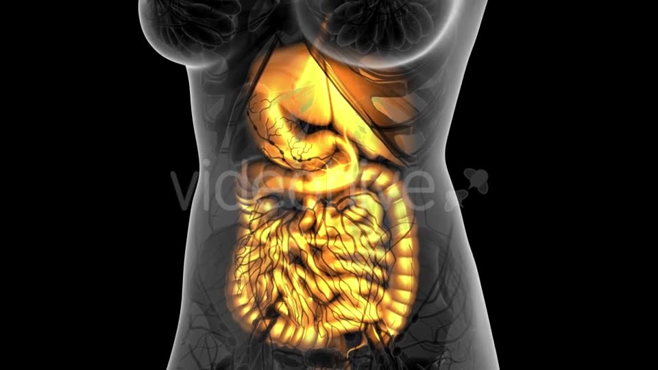Human Body with Visible Digestive System - Download Videohive 21314029