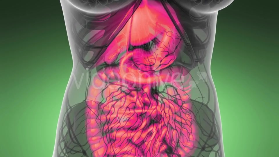 Human Body with Visible Digestive System - Download Videohive 21389101