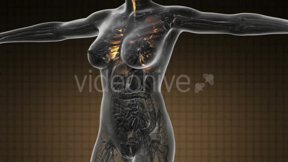 Human Body with Visible Lungs - Download Videohive 19109604