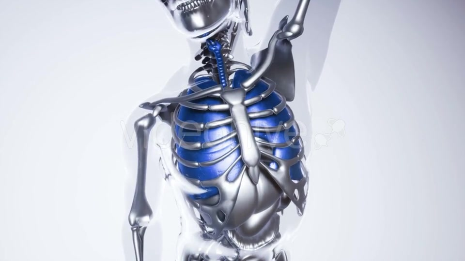 Human Lungs Model with All Organs and Bones - Download Videohive 21118389
