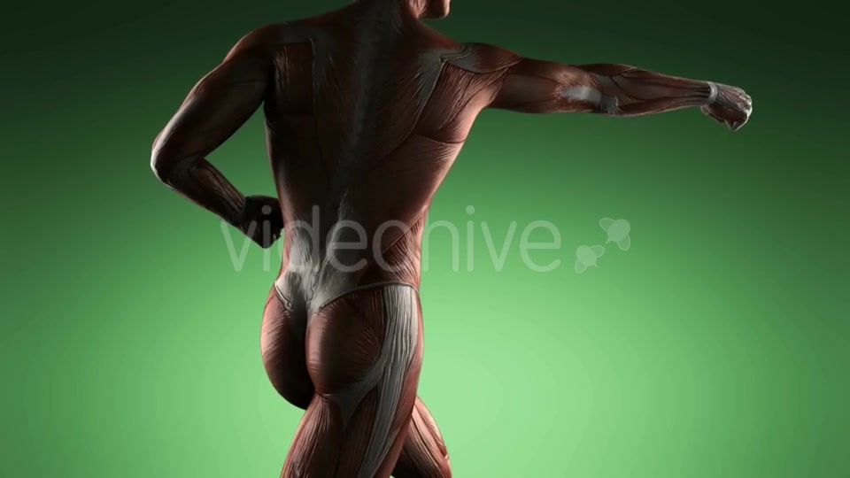 Human Muscle Anatomy - Download Videohive 19109454