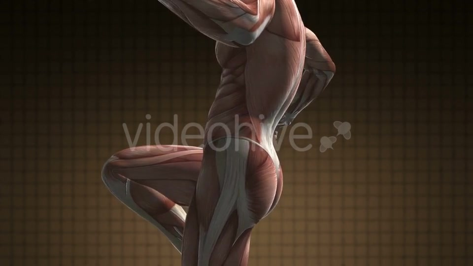 Human Muscle Anatomy - Download Videohive 21094582