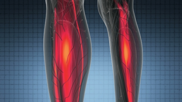 Human Muscle Anatomy - Download Videohive 21297452