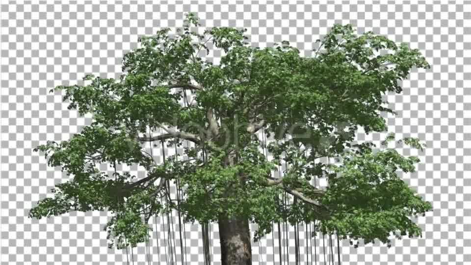 Kapok Swaying Tree Tree is Swaying at the Wind - Download ...