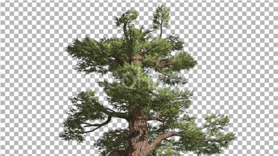 Western Juniper Top of Tree Green Yellow Branches - Download Videohive 15425225