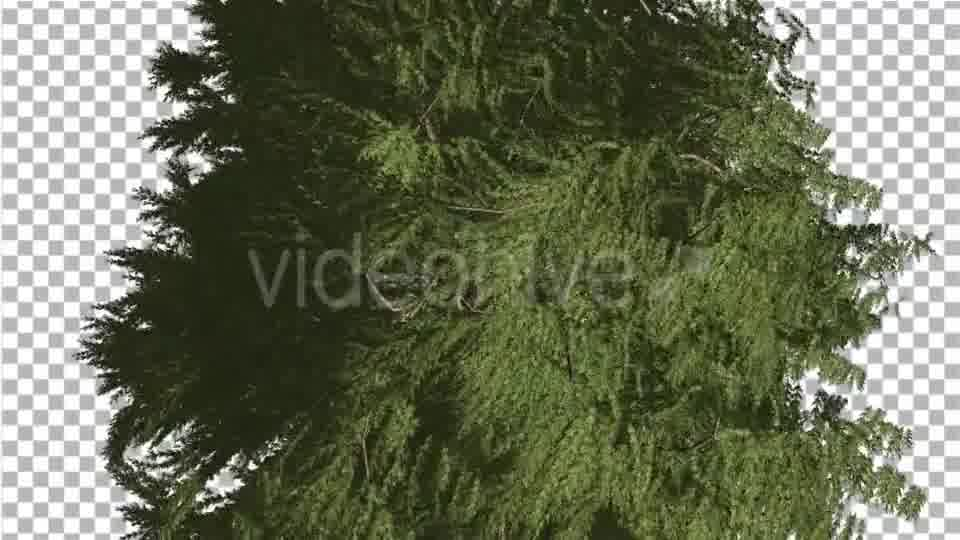 Western Red Cedar Evergreen Crown of Tree - Download Videohive 19450728