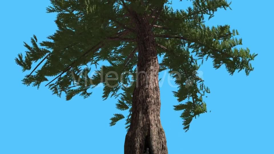 Western Red Cedar Trunk and Branches Down up - Download Videohive 15470857
