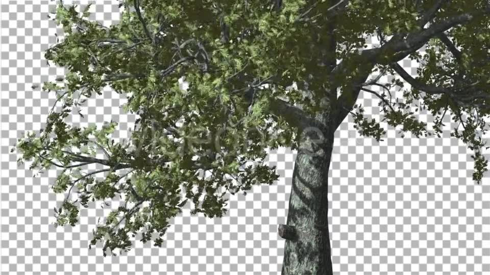White Oak Trunk And Lower Branches Tree Swaying - Download Videohive 14715206