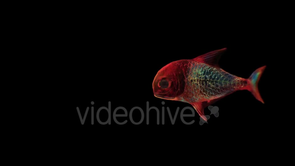 Lingering Semi transparent Colorful Fish Videohive 19828300 Motion Graphics Image 6