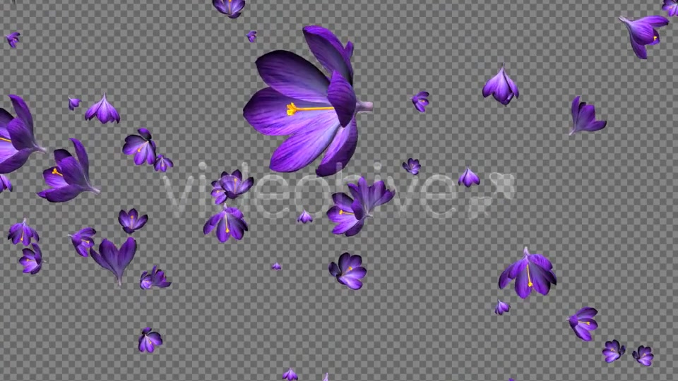 Rain of Flowers Blue Crocus Pack of 2 Videohive 6640839 Motion Graphics Image 11