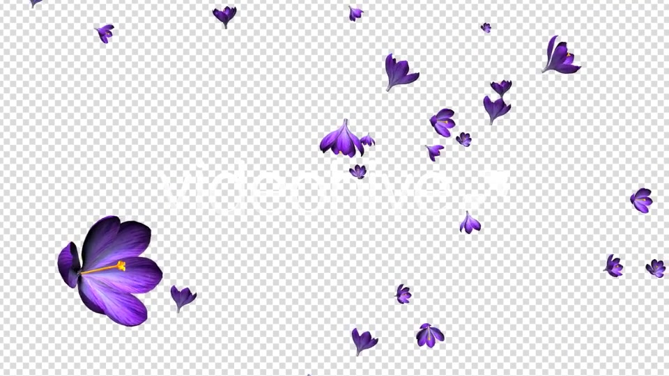 Rain of Flowers Blue Crocus Pack of 2 Videohive 6640839 Motion Graphics Image 7