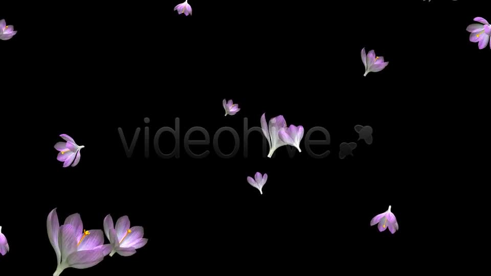 Rain of Flowers Pink Crocus Pack of 2 Videohive 6640866 Motion Graphics Image 1