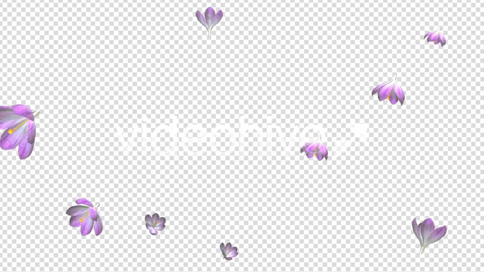 Rain of Flowers Pink Crocus Pack of 2 Videohive 6640866 Motion Graphics Image 4