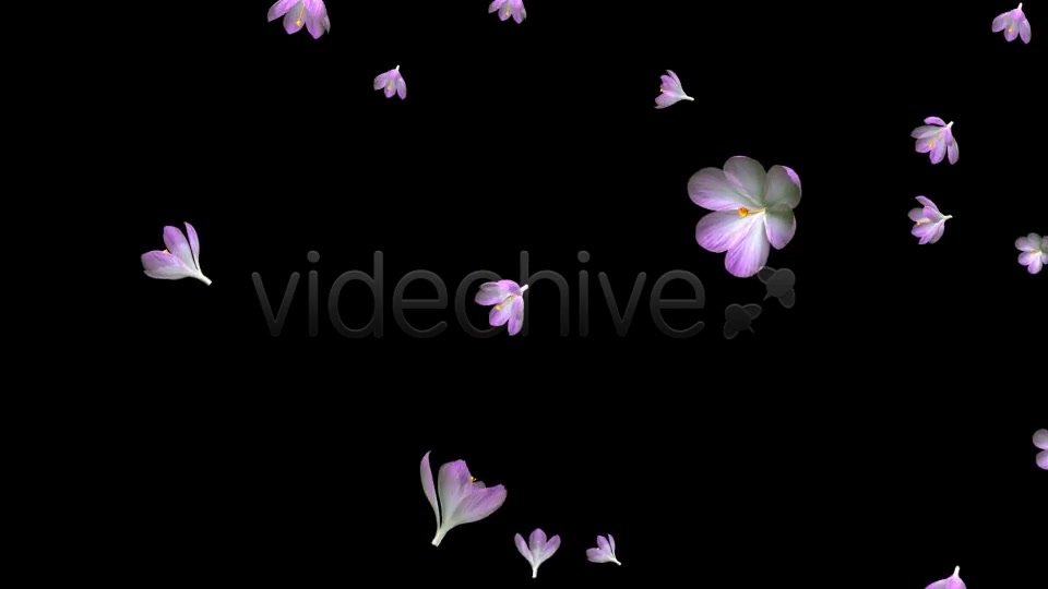Rain of Flowers Pink Crocus Pack of 2 Videohive 6640866 Motion Graphics Image 5
