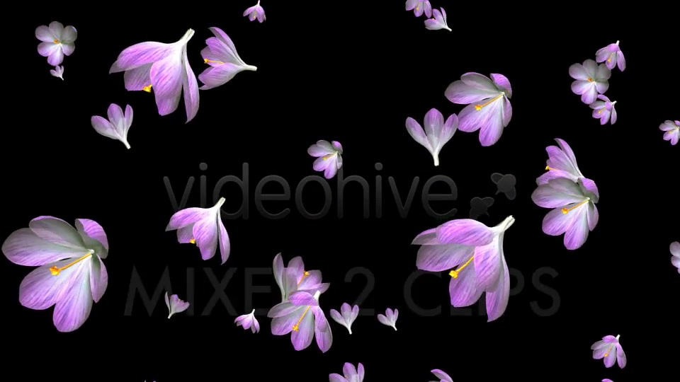 Rain of Flowers Pink Crocus Pack of 2 Videohive 6640866 Motion Graphics Image 9