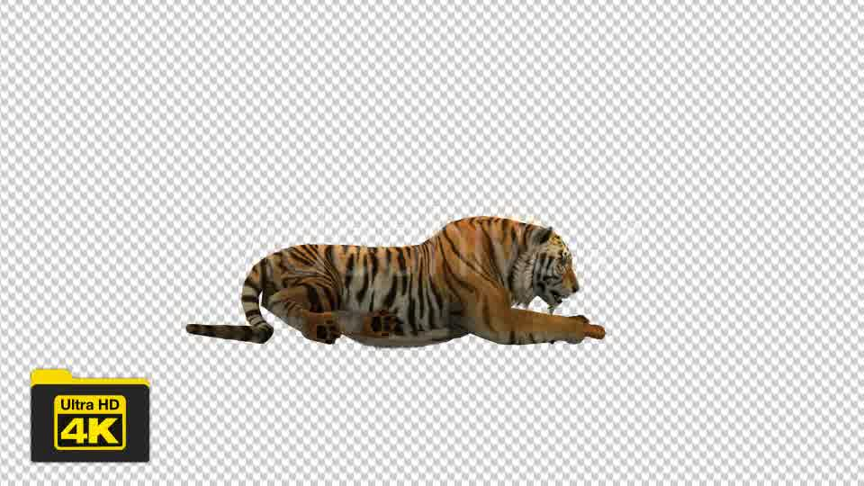 Tiger Sitting Videohive 19735680 Motion Graphics Image 10