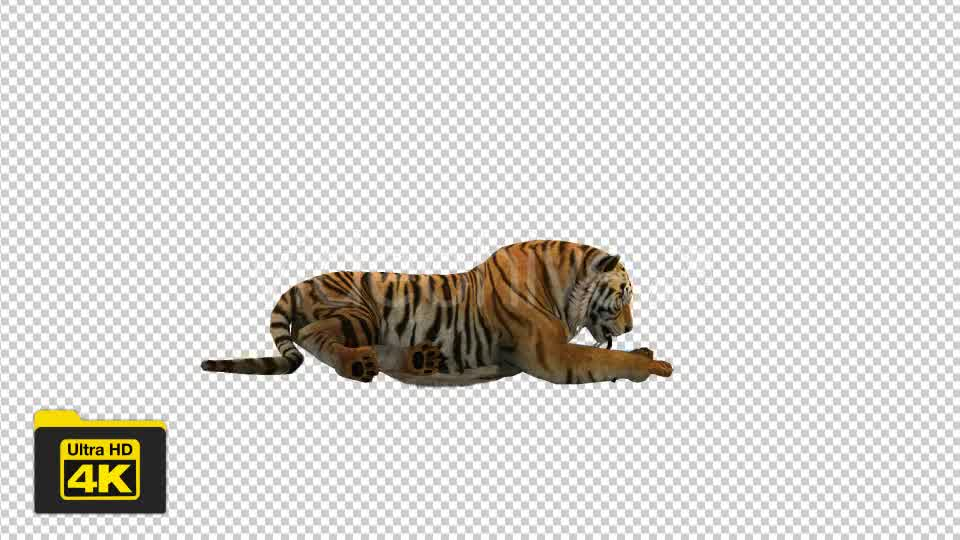 Tiger Sitting Videohive 19735680 Motion Graphics Image 8