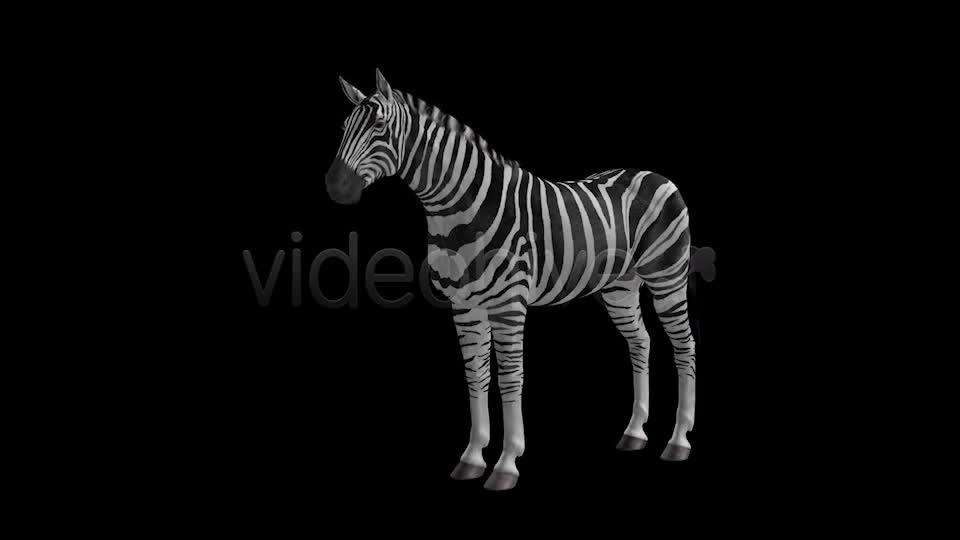 Zebra Pack of 2 Videohive 6494112 Motion Graphics Image 1