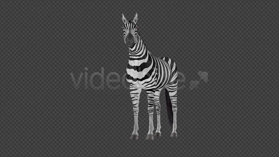 Zebra Pack of 2 Videohive 6494112 Motion Graphics Image 10