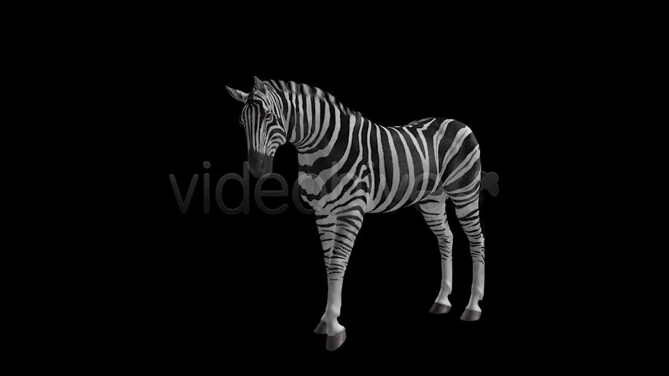 Zebra Pack of 2 Videohive 6494112 Motion Graphics Image 2