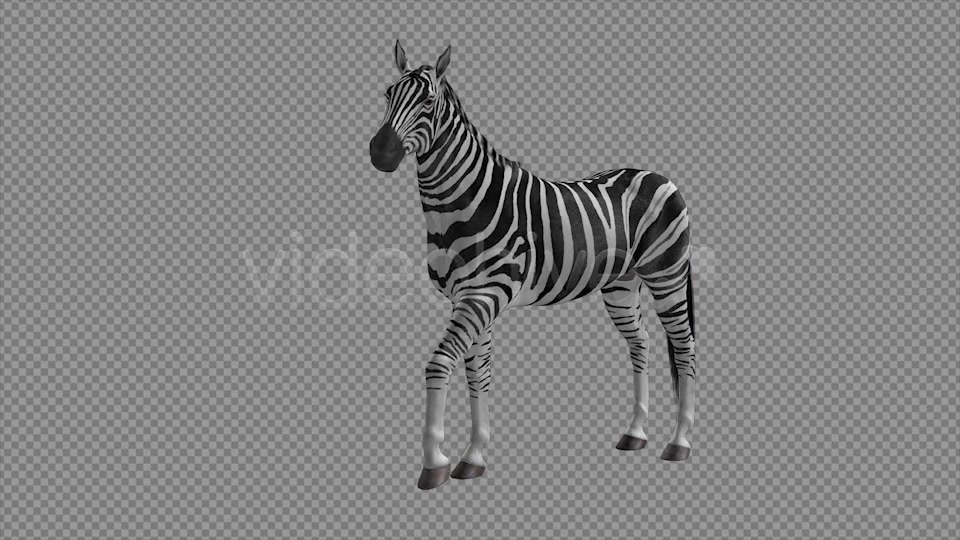 Zebra Pack of 2 Videohive 6494112 Motion Graphics Image 3