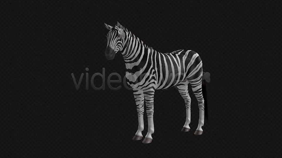 Zebra Pack of 2 Videohive 6494112 Motion Graphics Image 4