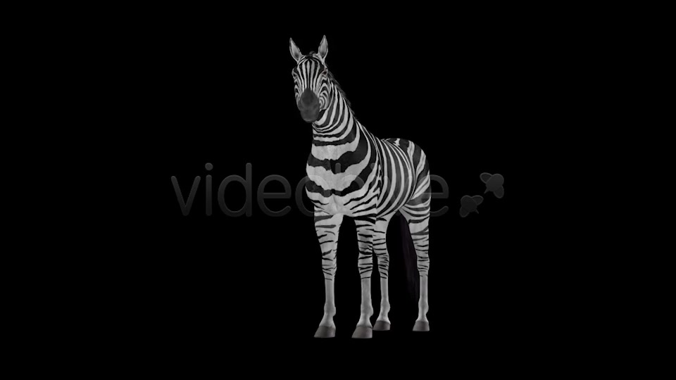 Zebra Pack of 2 Videohive 6494112 Motion Graphics Image 6