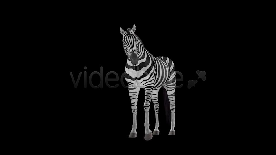 Zebra Pack of 2 Videohive 6494112 Motion Graphics Image 7