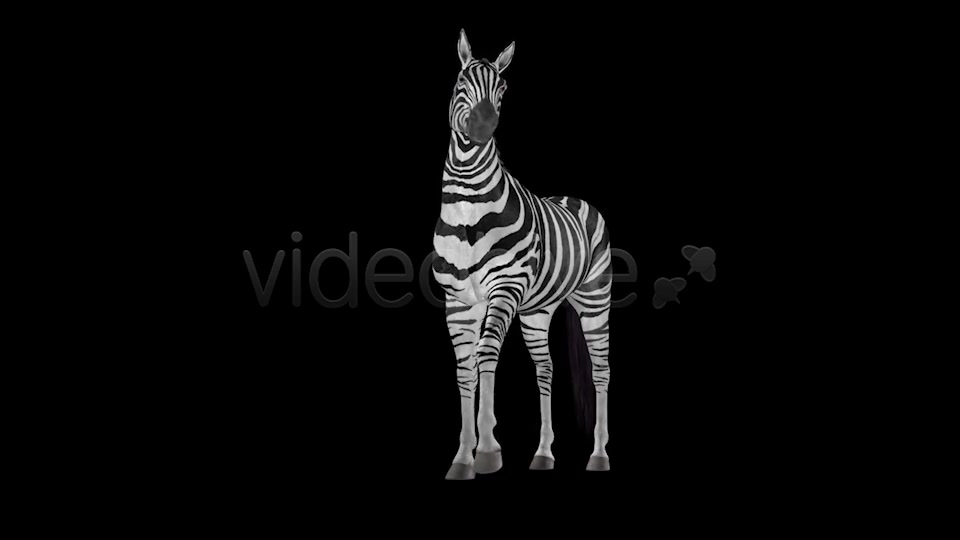 Zebra Pack of 2 Videohive 6494112 Motion Graphics Image 8
