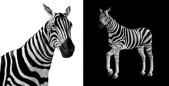 Zebra Pack of 2 - 6494112 Videohive Download